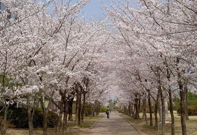 cherry-blossom 2