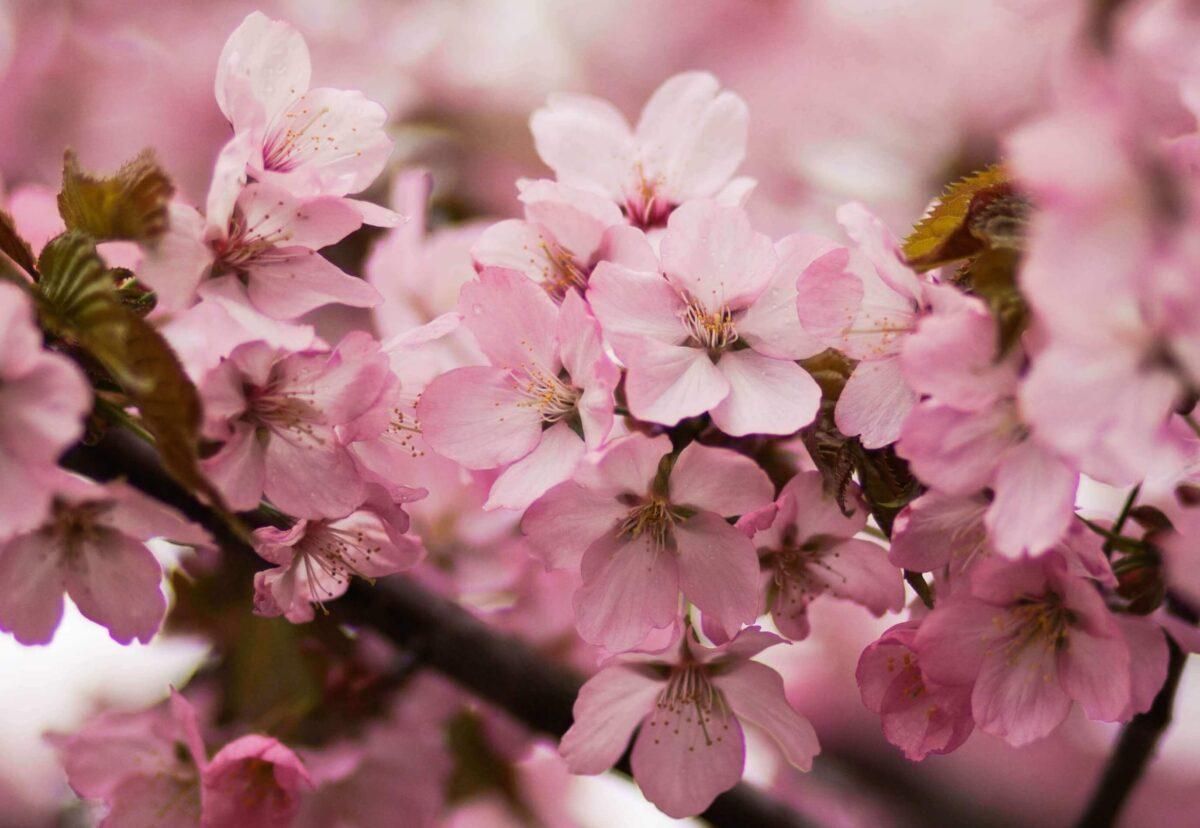 La Corea e i fiori di ciliegio (벚꽃) tra storia e leggenda